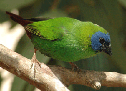 Blue-face Parrot Finch