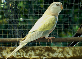 Pastel Yellow Hen