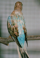 Blue Backed Opaline Cock