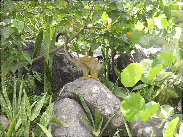 Squirrel Monkey (Squirrel Monkey Island).