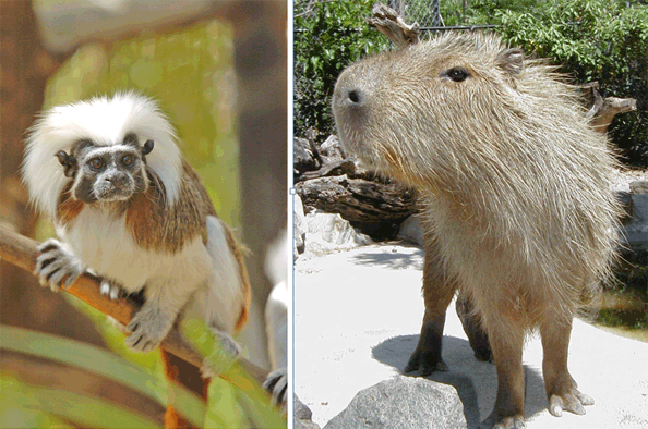 Cotton-top tamarina (on the left) Capybara (on the right)