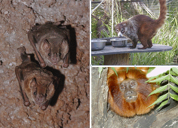 Jamaican fruit bats, Coati and Golden Lion Tamarin.