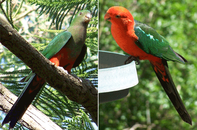 King Parrot (Alisterus scapularis). Hen bird (left) & Cock bird (right).
