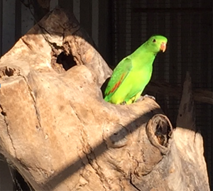 Nesting log and hen Red-winged parrot