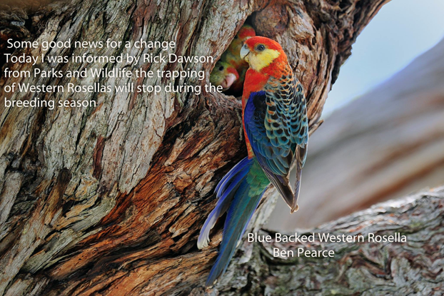 The trapping of Western Rosellas to stop during the breeding season.