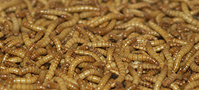 Mealworms - Wikipedia (Author:  Pengo