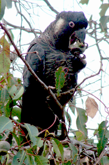 Yellow-tailed Black Cockatoo (C baudinii) (Courtesy of Wikipedia Commons)