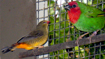 Oranged-breasted Waxbill (hen) with a Red-faced Parrot Finch