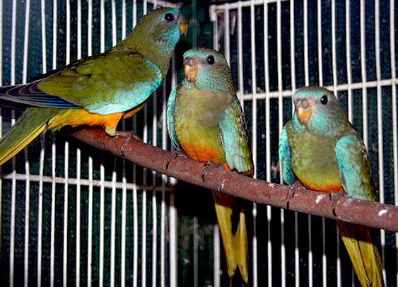 Scarlet-chested Parrot Mutation (Neophema splendida)