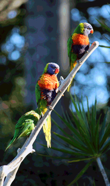 Rainbow Lorikeets (Photo taken by Lynn Stinten)