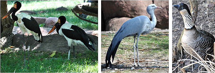 Left to right: Saddle-billed Storks, Blue Crane (Paradise Crane) and Hawaiian Geese (Nenes)