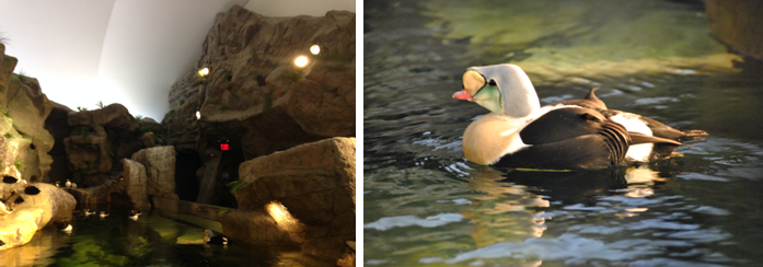 St Louis Zoo Puffin enclosure(left) and Eider Duck (right)