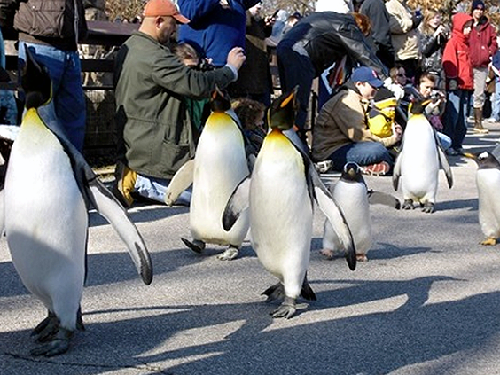 St Louis Penguins go for a walk