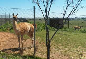 Guanacos (Lama guanicoe) is a camelid native to South America (Wikipedia, the free encyclopedia)