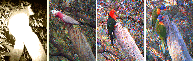 A brush-tailed possum, Galah, King Parrot and Rainbow Lorikeets all pay interest in the same remant tree hollow