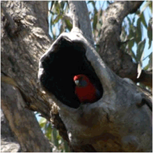 Crimson-wing Parrot in a Sydney tree hollow (Secret life of Sydney's Parrots)
