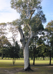 Remant Tree growing on a golf course