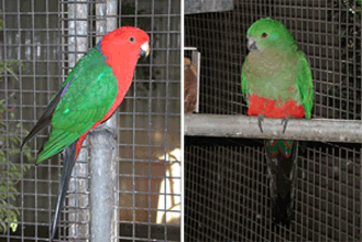 A pair of King Parrots (cock on the left, hen on the right)