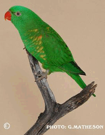 Scaly Breasted Lorikeet (Trichoglossus chlorolepidotus)