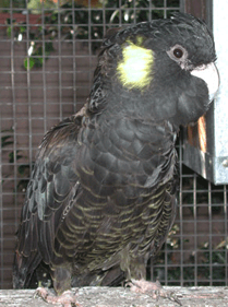 Yellow-tailed Black Cockatoo (hen) (Calyptorhunchus funereous)